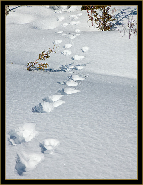 Lynx Tracks in the Snow