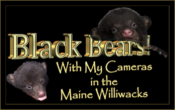 Black Bears! With My Cameras in the Maine Williwacks
