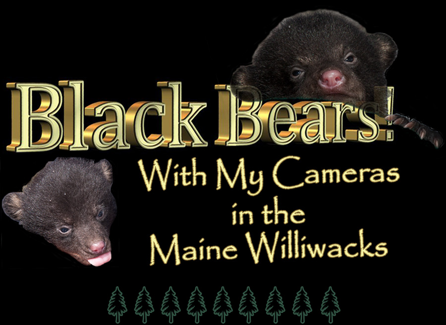 Black Bears! With my Cameras in the Maine Williwacks - Photography by Kirk M. Rogers