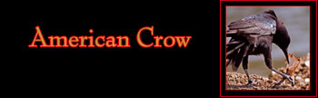 American Crow Gallery