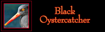 Black Oystercatcher Gallery