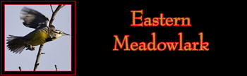 Eastern Meadowlark Gallery