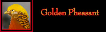 Golden Pheasant Gallery