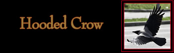 Hooded Crow Gallery
