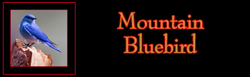 Mountain Bluebird Gallery