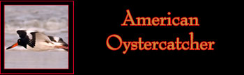 American Oystercatcher Gallery