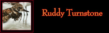 Ruddy Turnstone Gallery