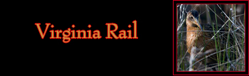 Virginia Rail Gallery