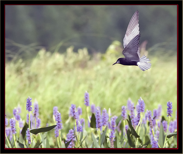 Black Tern in Flight - Beautiful and Graceful