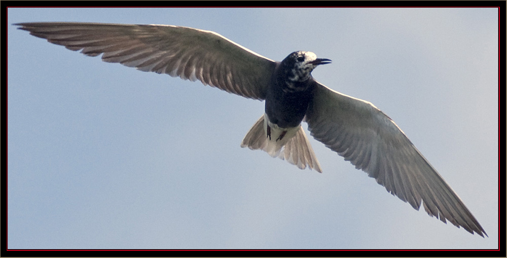 Black Tern - Carlton Pond Waterfowl Production Area