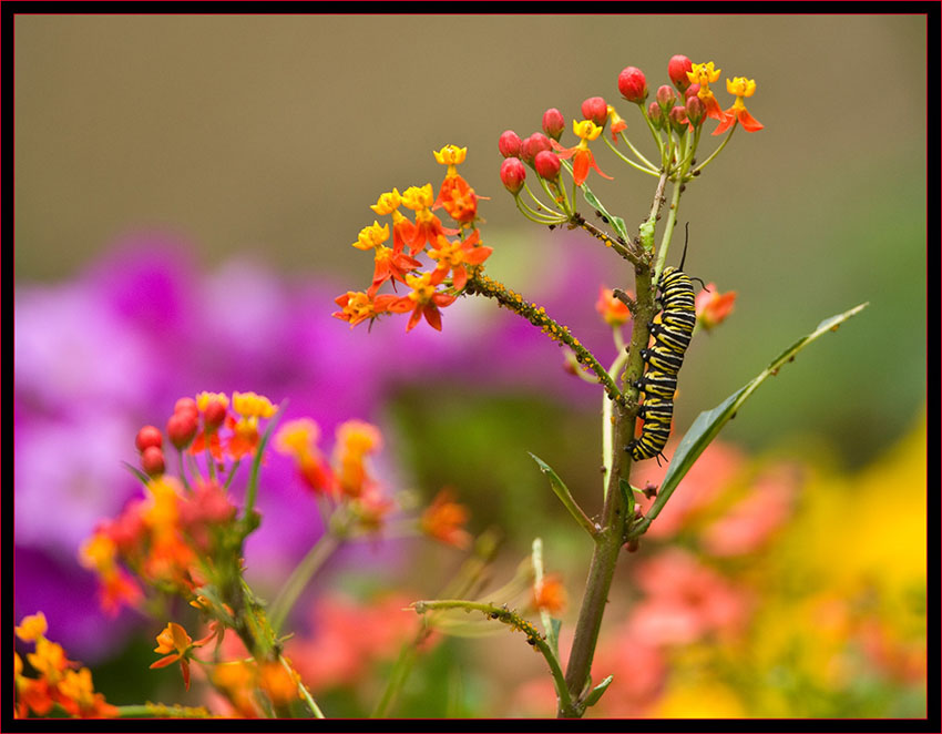Monarch Caterpillar, Aphids and Flowers