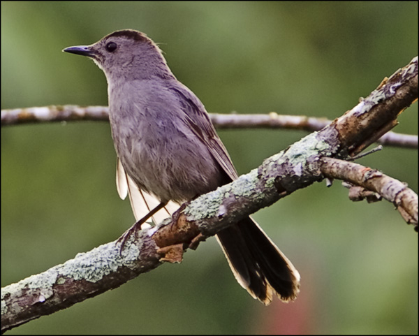 Catbird on Perch