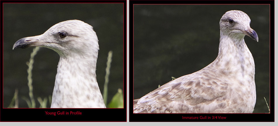 Seagull Close-ups