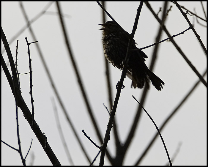 Morning Sparrow