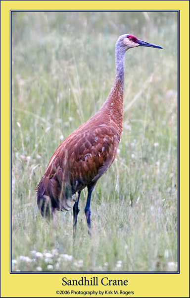 One of the Beautiful Sandhill Cranes