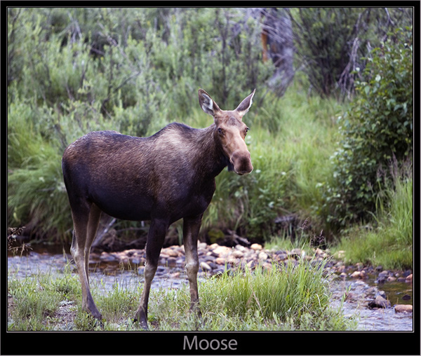 The Moose Cow