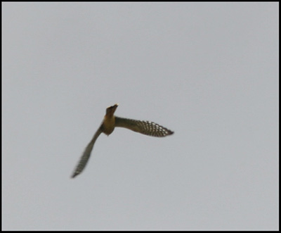 The Kestrel in Flight