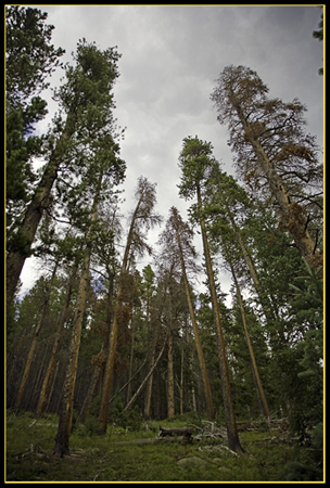 Tall Trees Everywhere