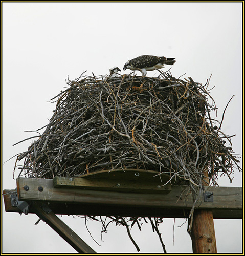 The Large Osprey Nest