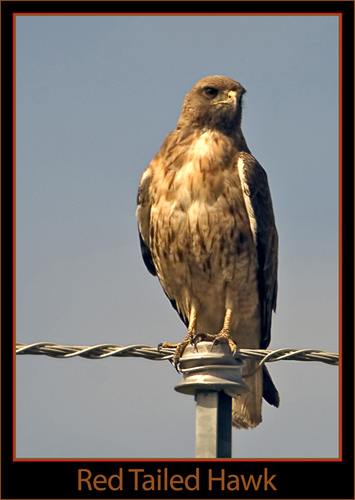 A Beautiful Red Tail