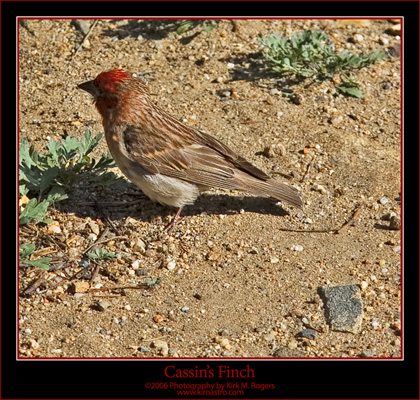 Roadside Finch