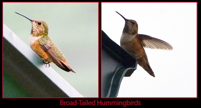 Colorado Hummingbirds