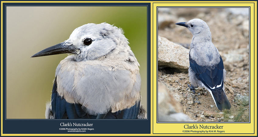Clark's Nutcrackers at the Scenic Stop