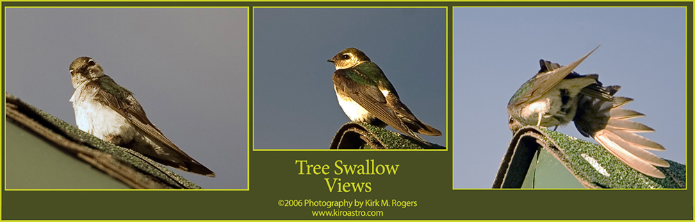 Tree Swallow Images