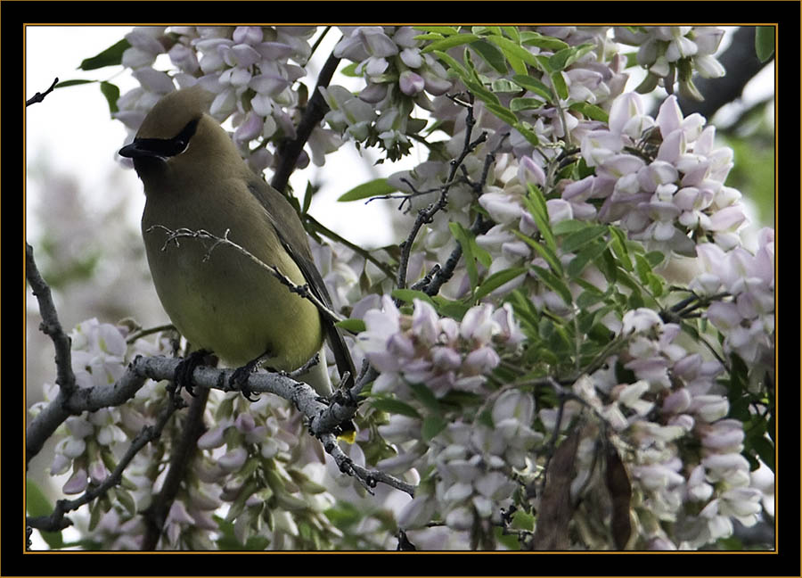 Cedar Waxwing & Blooms - Rocky Mountain Arsenal National Wildlife Refuge