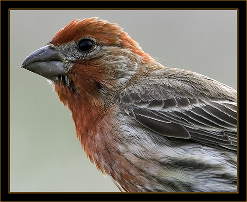 House Finch - Rocky Mountain Arsenal National Wildlife Refuge