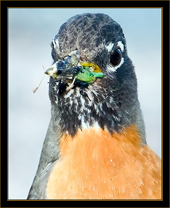 American Robin - Rocky Mountain Arsenal National Wildlife Refuge