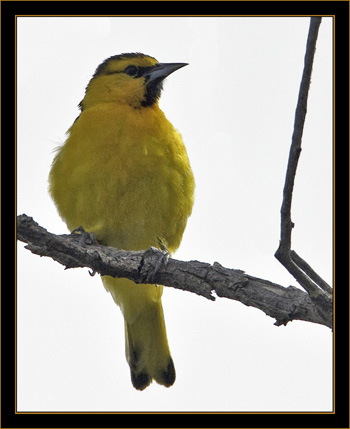Bullock's Oriole - Rocky Mountain Arsenal National Wildlife Refuge
