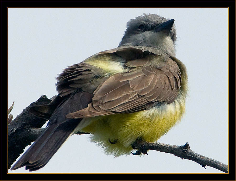 Western Kingbird - Rocky Mountain Arsenal National Wildlife Refuge
