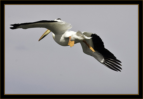 American White Pelican - Cherry Creek State Park