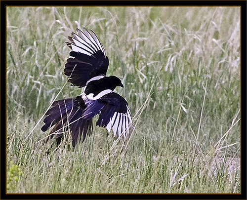 Black-billed Magpie- Cherry Creek State Park