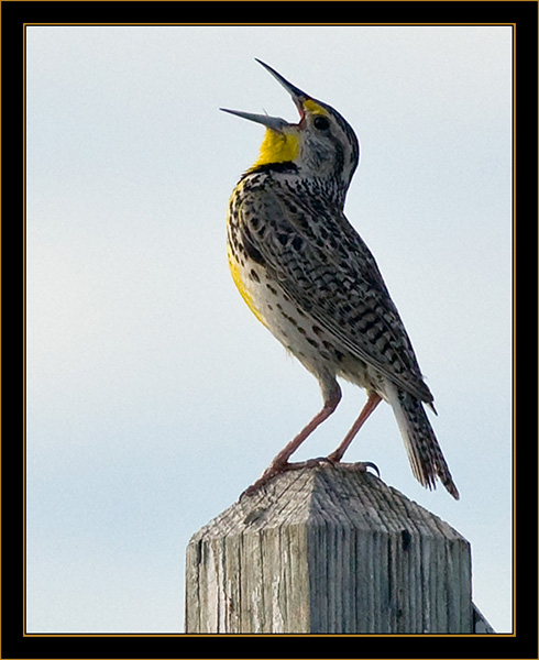 Western Meadowlark - Rocky Mountain Arsenal National Wildlife Refuge