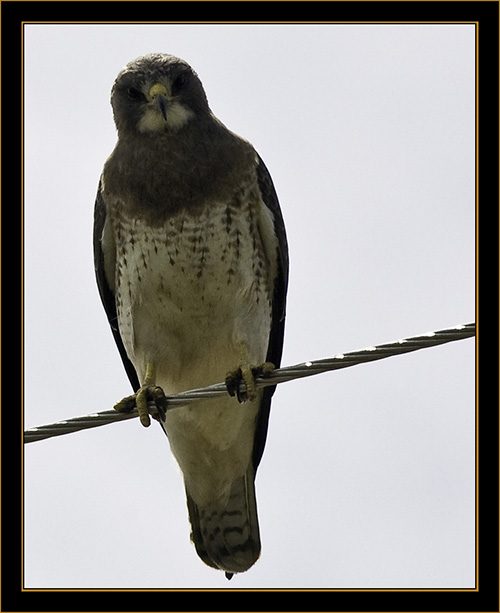 View in Wyoming - Swainson's Hawk