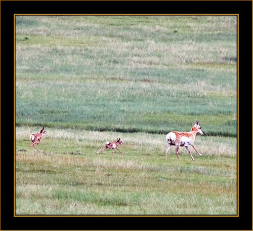 View in Wyoming - Pronghorn Antelope with Young