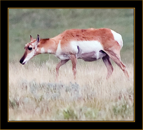View in Wyoming - Pronghorn Antelope