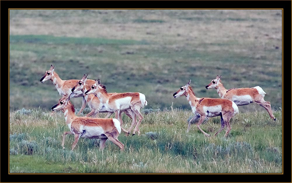 View in Wyoming - Pronghorn Antelope Group