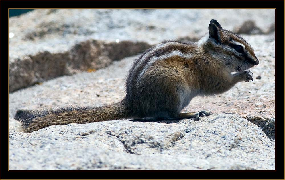 Least Chipmunk - Rocky Mountain National Park