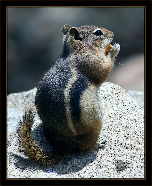Golden-mantled Ground Squirrel - Rocky Mountain National Park