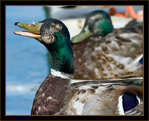 Dockside Mallard - Cherry Creek State Park