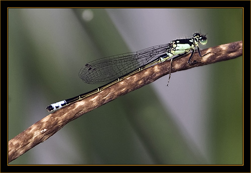 Damselfly - Cherry Creek State Park