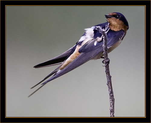 Barn Swallow - Cherry Creek State Park