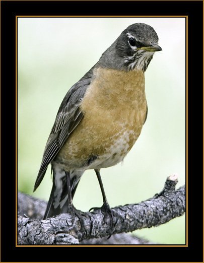American Robin - Rocky Mountain National Park