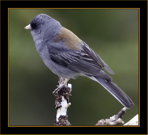Dark-eyed Junco - Rocky Mountain National Park