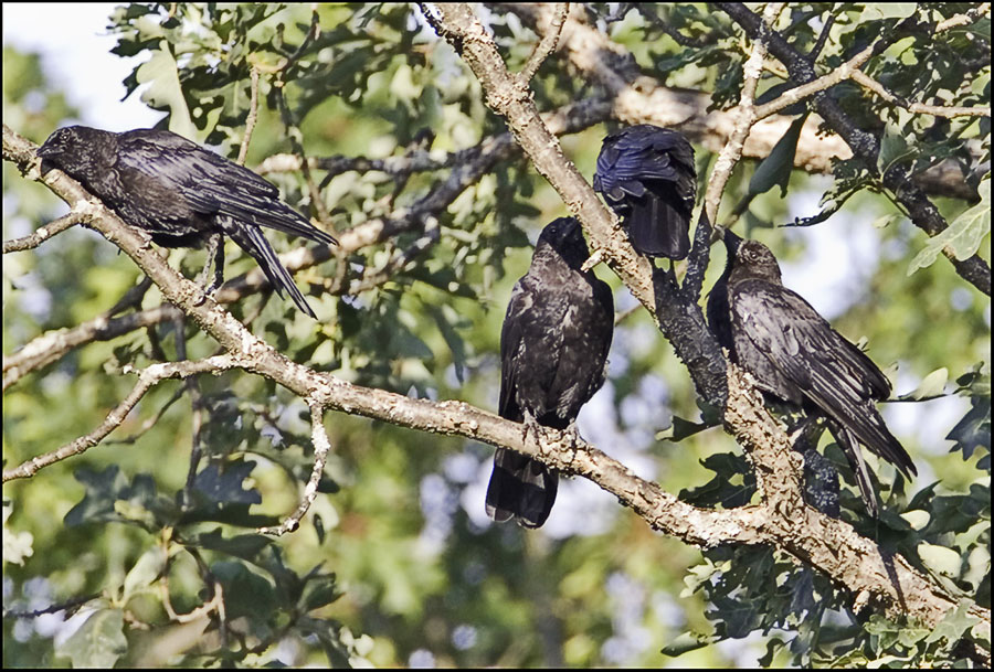 A Group of Neighborhod Crows