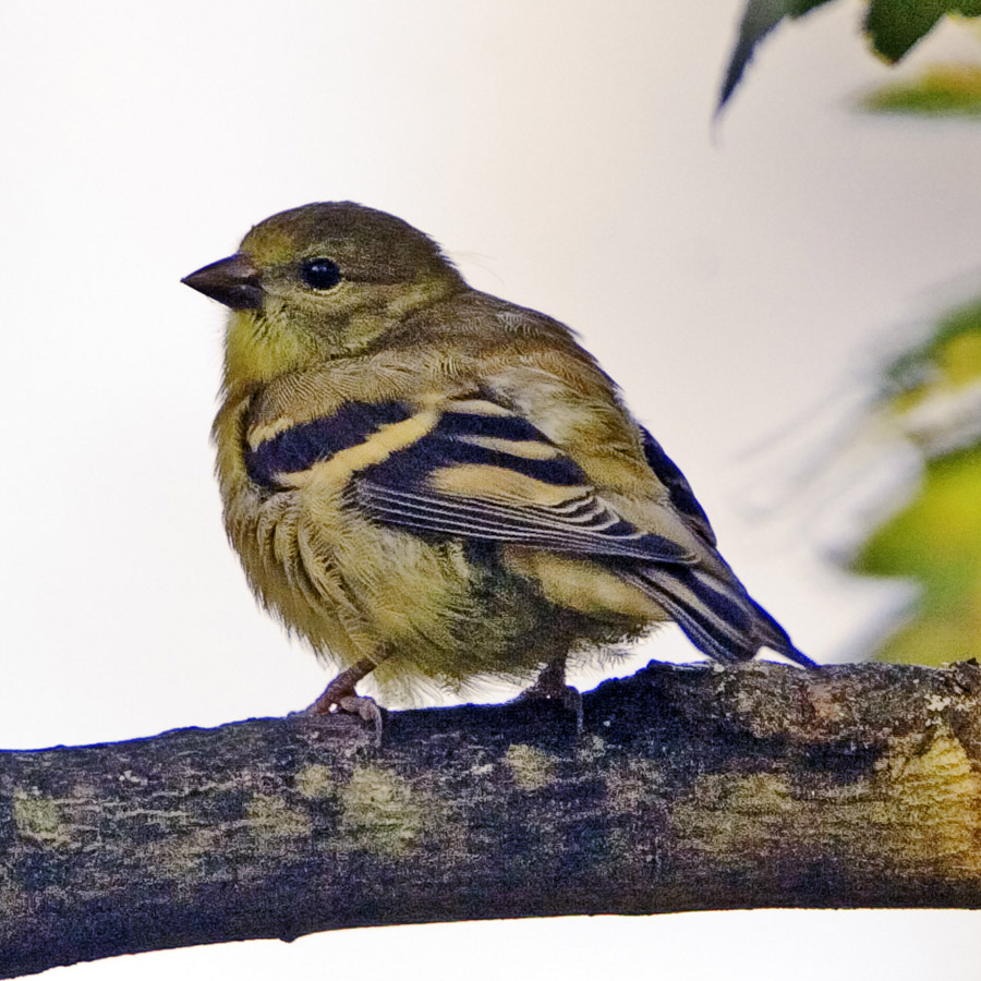 Lady Goldfinch