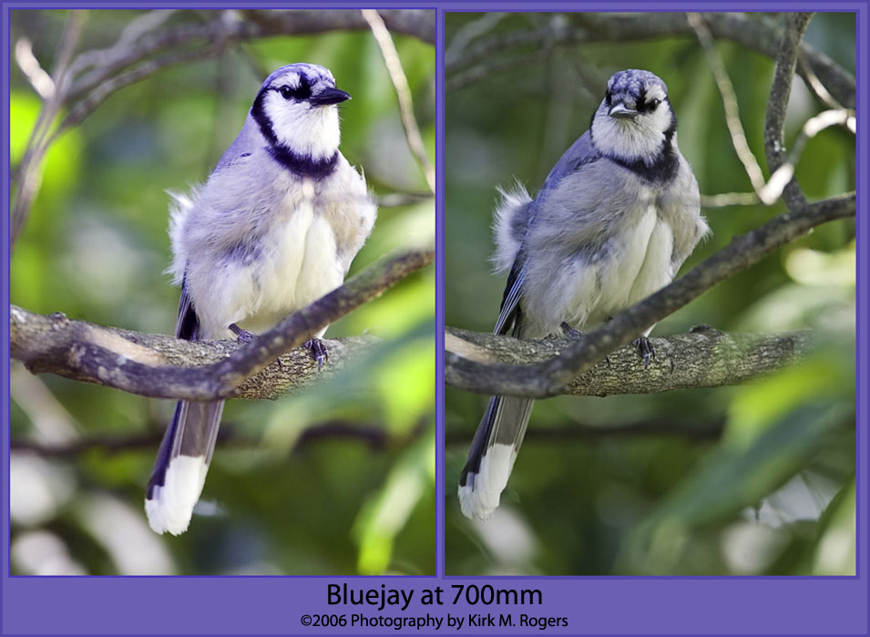 Young Backyard Bluejay